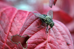 One flies on a autumn sheet Royalty Free Stock Photos