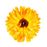 One flower Royalty Free Stock Photography