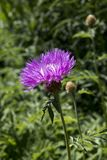 Centaurea karabaghensis. One flower of centaury or knapweed Stock Photos