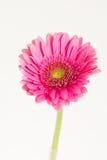 One flower gerbera. On white background dark pink flower gerbera daisies Stock Photos