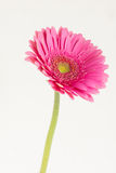 One flower gerbera. On white background dark pink flower gerber daisies turns to the right Royalty Free Stock Photos