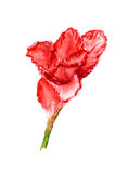 One flower of gladiolus Stock Photos