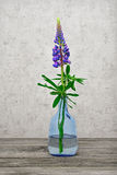 One flower a lupine in a glass vase Stock Photos