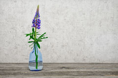 One flower a lupine in a glass vase Royalty Free Stock Images
