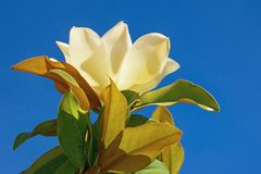 One flower of magnolia against the blue sky Royalty Free Stock Photos