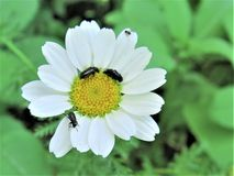 Many flies in bloom. One flower with many flies stock images