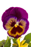 One flower pansy Stock Images