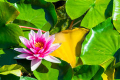 One flower pink water lily in a pond Stock Photography