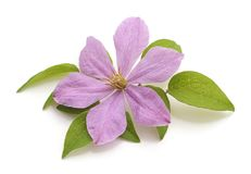 One flower of purple clematis. Royalty Free Stock Photos