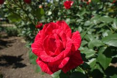 One flower of Red Intuition rose. Cultivar Royalty Free Stock Photography