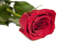 One flower of red rose Royalty Free Stock Image