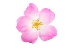 One flower rose hips isolated on white background Stock Image