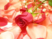 One flower of a rose Royalty Free Stock Photography