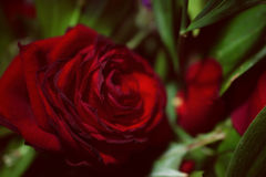 One flower of scarlet rose. Against a green foliage background Stock Photography
