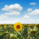 One flower of sunflower on field and clouds over it Royalty Free Stock Images