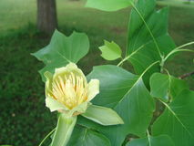 One flower of tulip tree Royalty Free Stock Photography