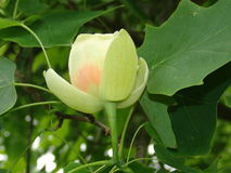 One flower of tulip tree Royalty Free Stock Images