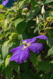 One flower and two buds clematis Stock Images