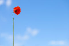 One flower of wild red poppy on blue sky background with focus on flower Royalty Free Stock Images
