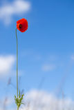 One flower of wild red poppy on blue sky background - focus on flower Royalty Free Stock Photo