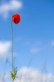 One flower of wild red poppy on blue sky background - focus on flower. Single flower of wild red poppy on blue sky background - focus on flower royalty free stock photo