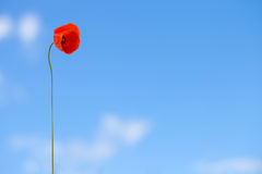 One flower of wild red poppy on blue sky background - outdoors shot Stock Photos