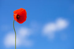 One flower of wild red poppy on blue sky background. Single flower of wild red poppy on blue sky background with focus on flower royalty free stock photos