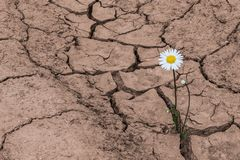 White daisy in dry cracked soil. Leucanthemum vulgare. One flowering plant growing in arid land. Idea of hope. Brown textured background. Concept of soil erosion stock image