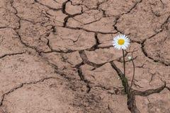 White daisy in dry cracked soil. Leucanthemum vulgare stock image