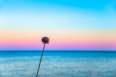 One flowers in front of a pastel sky. And a calm sea Stock Photo