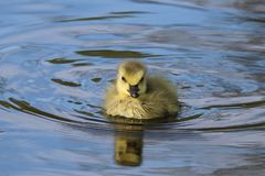 Little Gosling Swimming in Spring Stock Photography