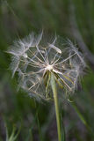 One fluffy white dandelion Royalty Free Stock Photography