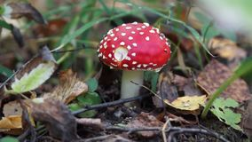 One fly agaric mushroom. In the autumn forest stock footage