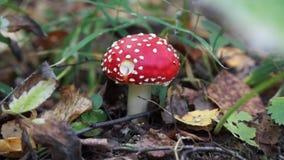 One fly agaric mushroom stock footage