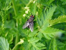 Grey fly on green leaf, Lithuania. One fly on green leaf in spring Stock Photography