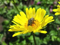 Fly on yellow flower, Lithuania. One fly on yellow flower in summer , Lithuania Stock Image