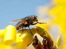 Fly. One fly on yellow flowers Royalty Free Stock Images