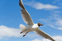 One flying seagull on a blue sky with white clouds. Closeup. From the bottom stock images