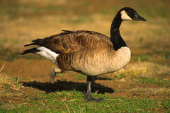 One Footed Canada Goose Royalty Free Stock Image