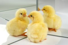 One or four chicks Stock Photos
