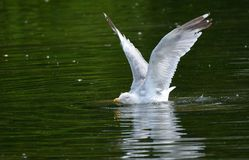 Whoops! Herring gull larus argentatus trying to take off from lake. Royalty Free Stock Photography