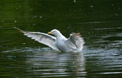 Take off! Herring gull larus argentatus trying to take off from lake. Royalty Free Stock Photography
