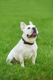 One french bulldog Royalty Free Stock Photos