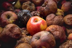 One fresh apple among dozens of rotten ones. Opposition, confrontation concept stock photos