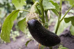 One fresh  eggplant or aubergine. With waterdrops from the rain, in the garden. Shallow depth of field.  See portfolio for more like this Stock Photos