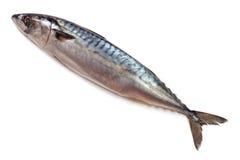 One fresh mackerel isolated on white background.  Royalty Free Stock Photography
