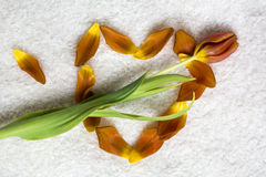One fresh orange tulip is lying on the heart made of petals. On the white fur Royalty Free Stock Photography