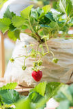 One fresh red strawberry in the farm Royalty Free Stock Images