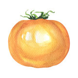 One fresh yellow tomato isolated, watercolor illustration on white Royalty Free Stock Image