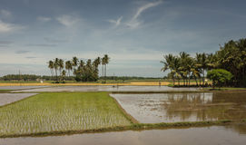 One freshly planted rice paddy and others with water. Stock Photography